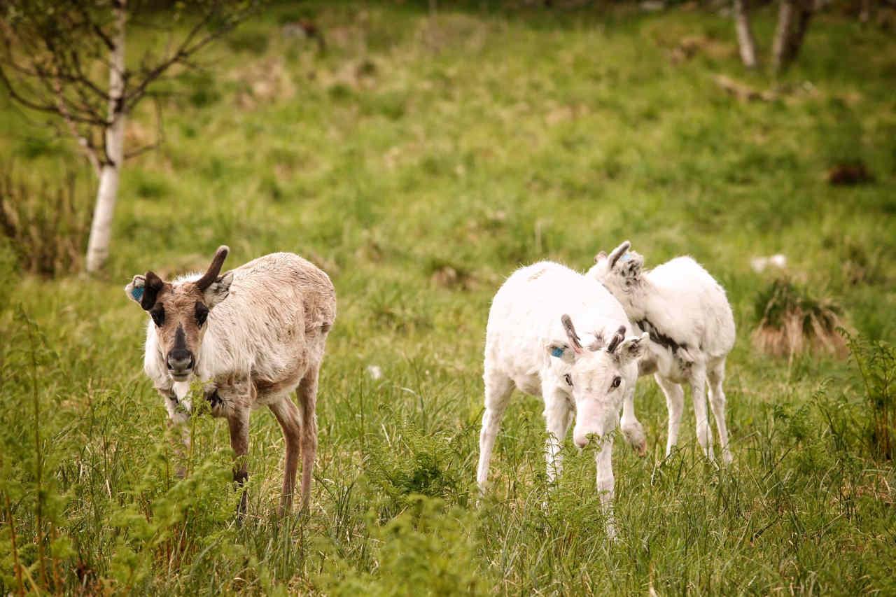 Des bébééés rennes